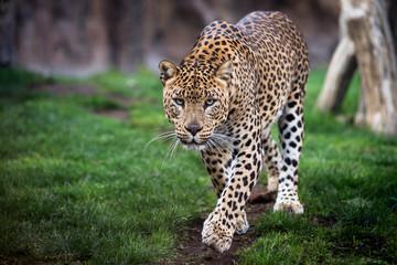 Leopard in front walking