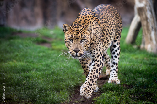 Poster Luipaard Leopard in front walking