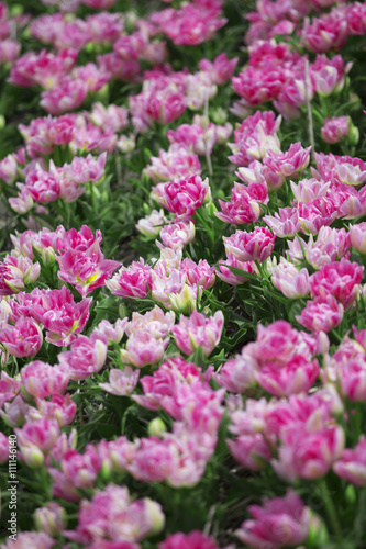 Photo sur Toile Dahlia Beautiful bouquet of pink