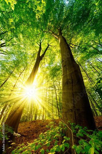 dwa-duze-drzewa-w-lesie