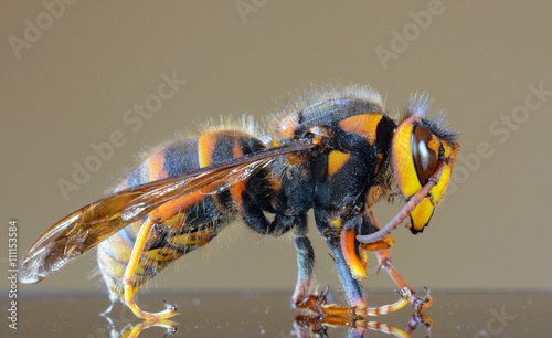 Japanese giant hornet closeup macro, also called giant sparrow bee Tablou Canvas