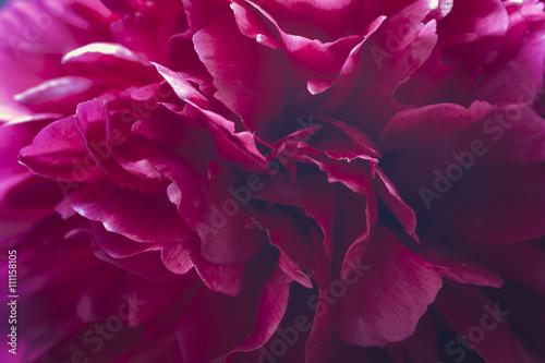 piwonia-kwiatowy-tlo