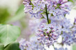 Blooming lilac bush. Flower petals macro view. soft focus, shallow depth of field
