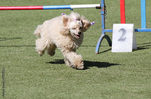 Fotografija  Dog a poodle at training on Dog agility