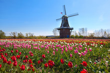 Wooden Windmill In Holland Michigan - Surrounded By Spring Tulips