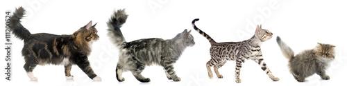 Fotobehang Kat four walking cats
