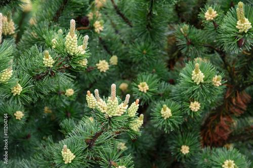 Valokuva  Pine.