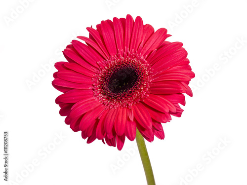 Deurstickers Gerbera beautiful red gerbera daisy isolated on white