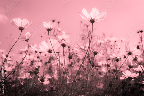 Fototapety, obrazy: White color tone style cosmos flower
