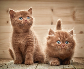Fototapeta Kot two brown british kittens