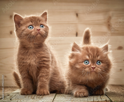 two brown british kittens - 111222754