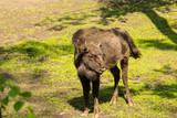 Fototapeta Zwierzęta - Żubr ssak zagrożony