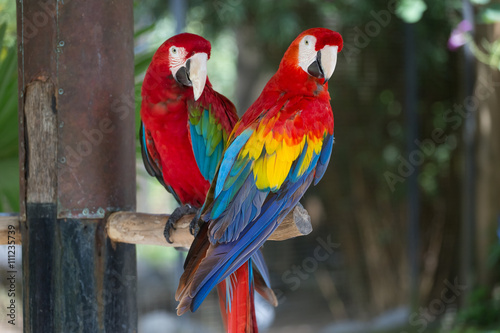 fototapeta na lodówkę Colorful couple macaws sitting on log