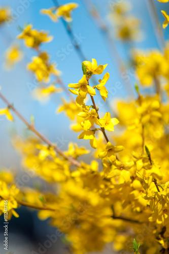 Fotografia, Obraz Branches of yellow Forsythia flowers