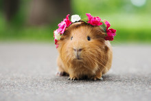 Adorable Guinea Pig In A Flowe...