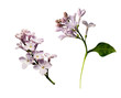 Set of lilac flowers twigs