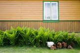 Fototapeta Zwierzęta - Wiejskie podwórko