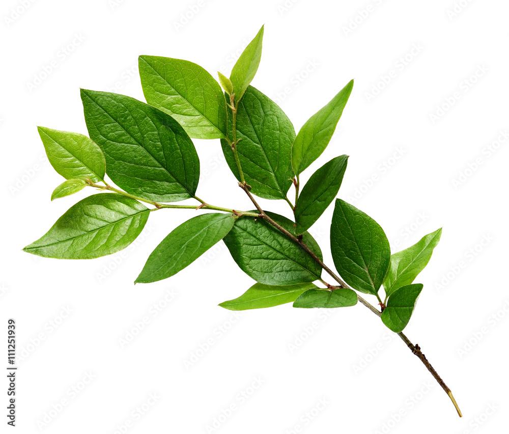Fototapeta Twig with green leaves - obraz na płótnie