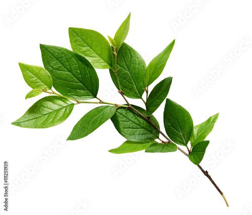 Fototapeta Twig with green leaves obraz na płótnie