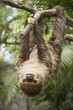 Young Hoffmann's two-toed sloth