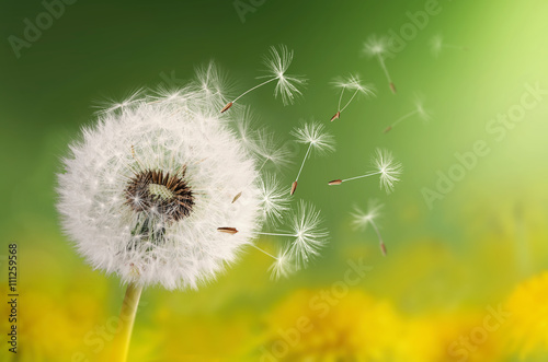Foto op Aluminium Paardebloem Dandelion seeds