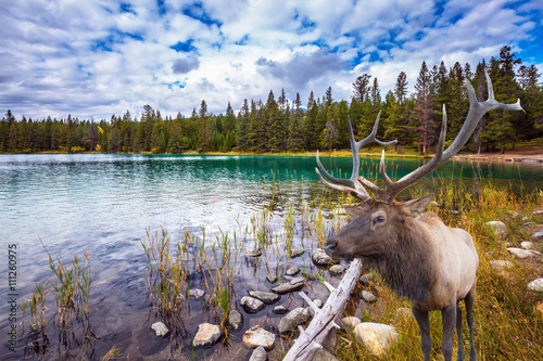 Wonderful antlered deer on cold lake