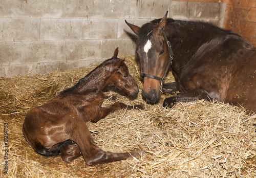 Fotografie, Obraz  Stute mit Fohlen nach Geburt