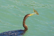 Anhingas Bird, Often Confused With The Cormorant, With A Speared Pigfish On It's Beak Preparing To Eat The Fish.