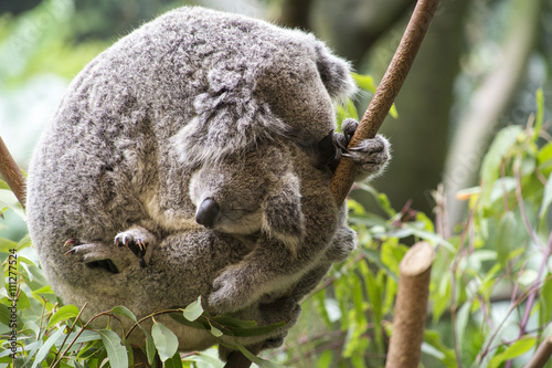 Canvas Prints Mother and joey koala cuddling