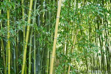 Obraz na Szkle Drzewa Lush green bamboo