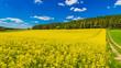Gelbes Rapsfeld Landschaft Landwirtschaft