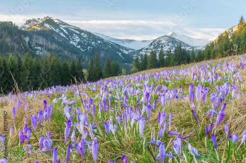 Crocuses in the grass, Tatra mountains