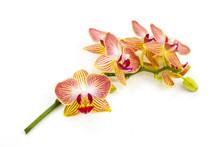 Soft Orange Orchids