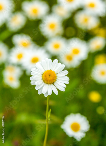 Printed kitchen splashbacks Flower shop a meadow of ox-eye daisies