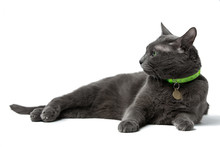 A Beautiful Gray Cat With Green Eyes Lying  Isolated On White Background, He Looks Into The Camera, Neck Green Collar With Medal