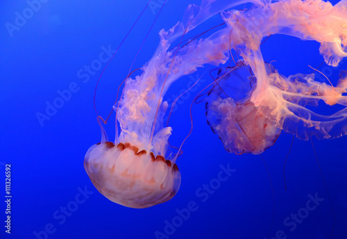 plakat Medusa Jellyfish