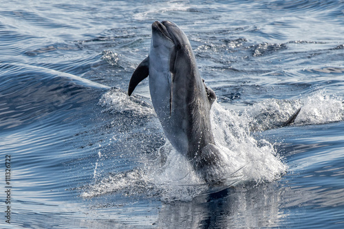 Staande foto Dolfijnen common dolphin jumping outside the ocean