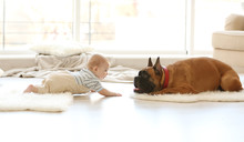 Little Baby Boy With Boxer Dog...