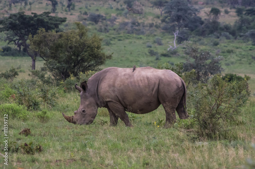 In de dag Neushoorn Rhinoceros grazing in the Weldgevonden Game Reserve in South Africa
