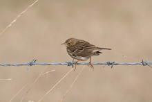 Meadow Pipit On Barbed Wire.