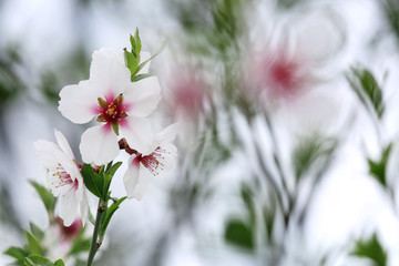 Naklejka Beautiful spring blossoming tree