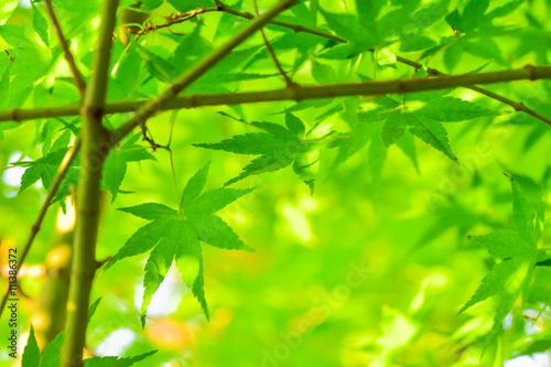 Green Leaf. Fresh green maple