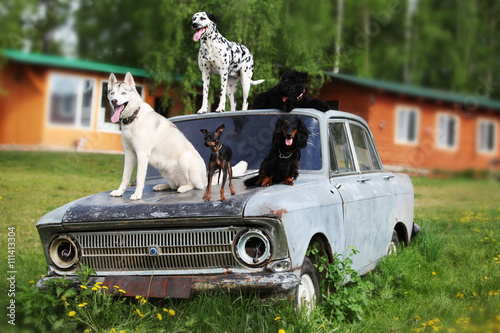 Many beautiful dogs on an old car - 111413304