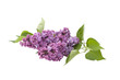 Flower purple lilac with leaves on a white background..