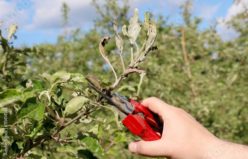 Valokuva  mechanical removal of apple leaves  infected and damaged by fungus disease powde