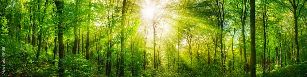 Fototapety, obrazy: Wald Panorama mit grünen Buchen und schönen Sonnenstrahlen