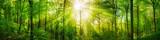 Fototapeta Forest - Wald Panorama mit grünen Buchen und schönen Sonnenstrahlen