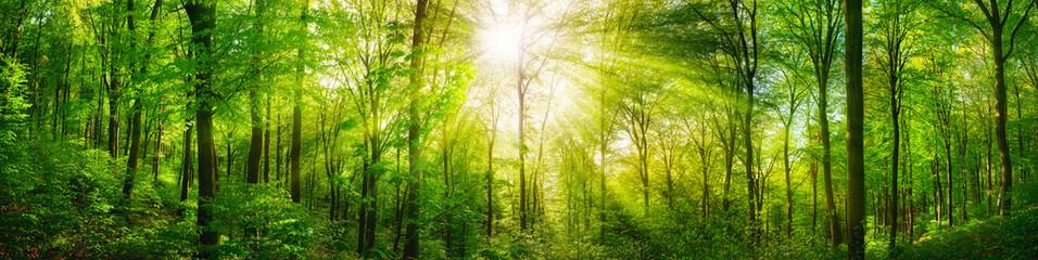 Panel Szklany Romantyczny Wald Panorama mit grünen Buchen und schönen Sonnenstrahlen