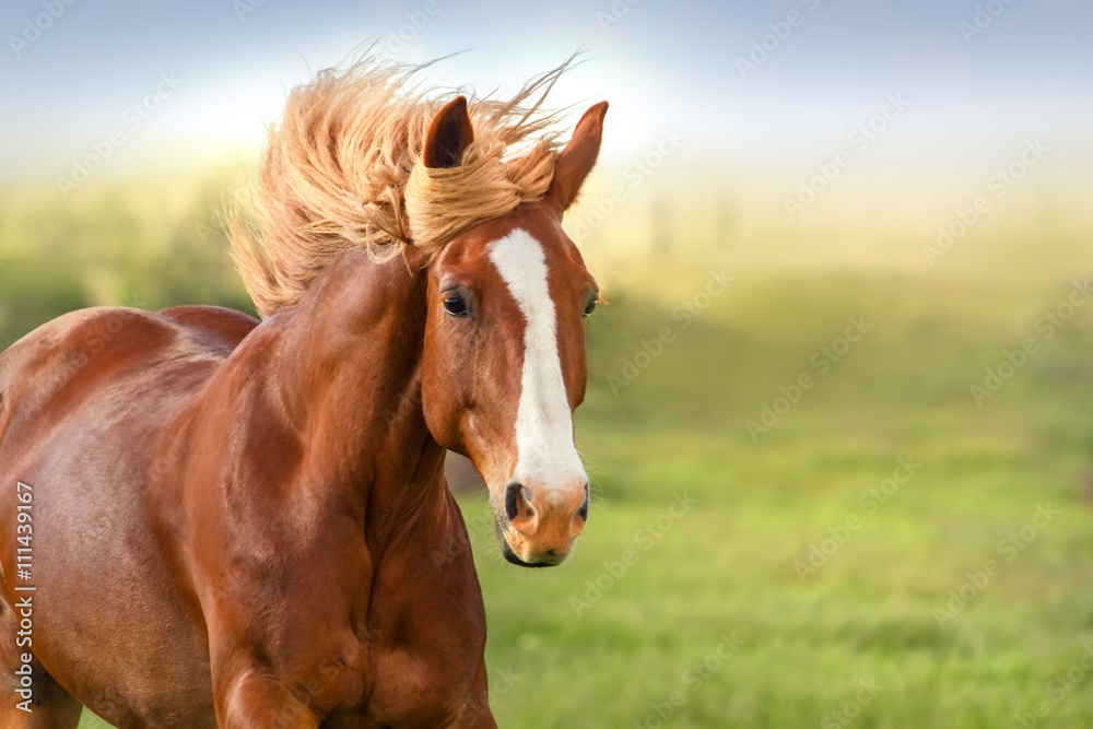 Fototapety, obrazy: Beautiful red horse with long mane portrait in motion