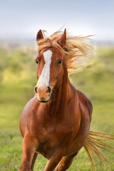 FototapetaBeautiful red horse with long mane portrait in motion